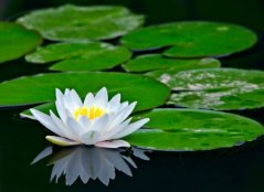 white_water_lily_pad